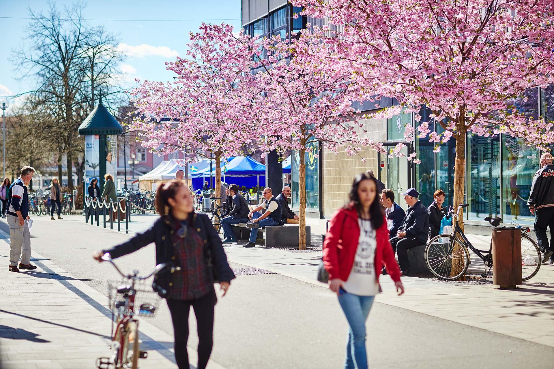 Körsbärsträden i full blom i Västerås City. Två kvinnor går tillsammans i förgrunden. Fotograf: Pia Nordlander