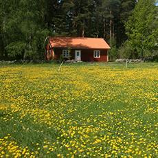En äng med smörblommor och en röd stuga från Spännars. Foto: Pressbild