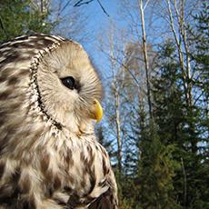 Bilden visar en uggla, BirdSafari Sweden. Fotograf: Daniel Green.