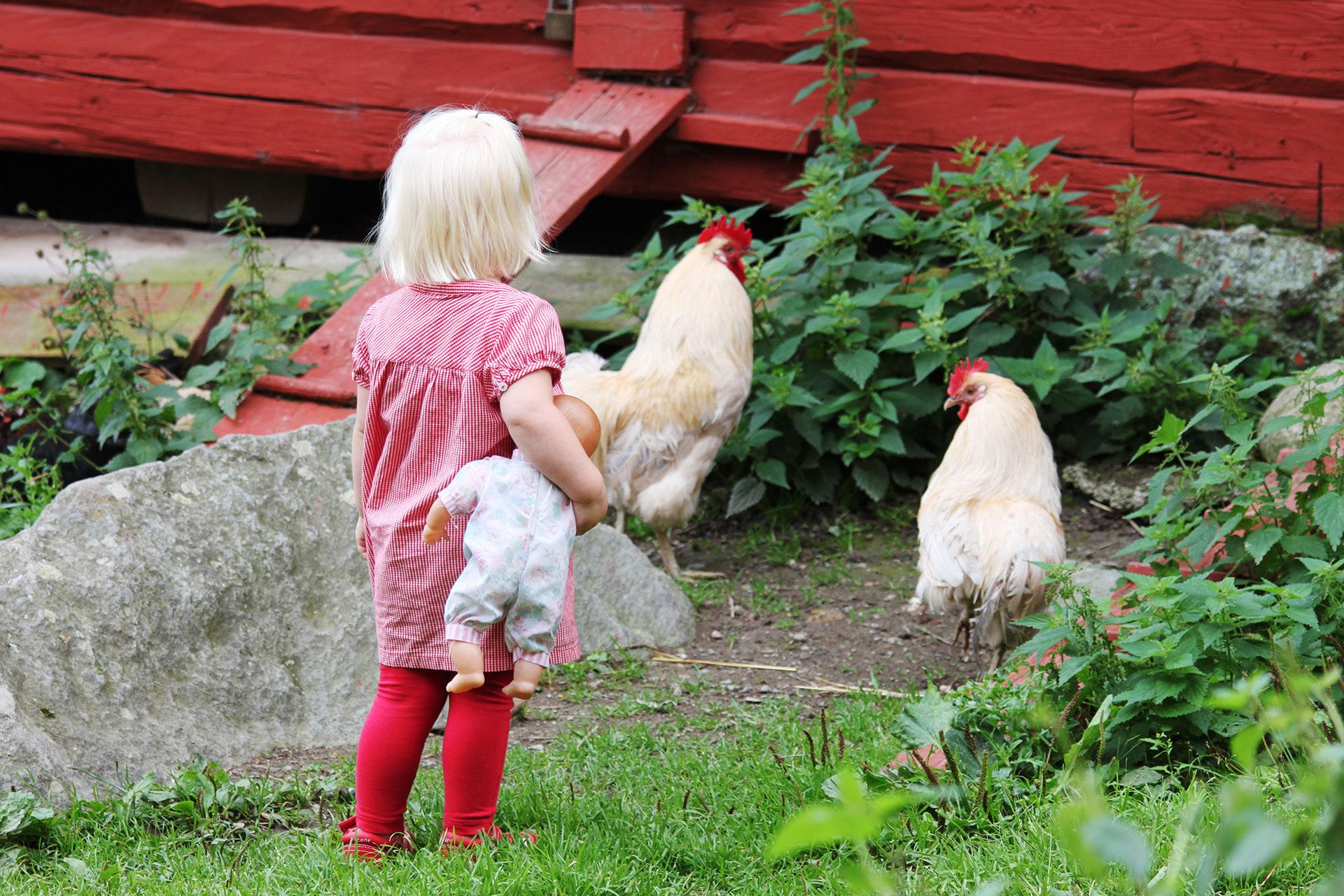 Ett litet barn står med docka i famnen och kollar på hönsen som vandrar omkring på Vallby friluftsmuseum. Fotograf: Pressbild