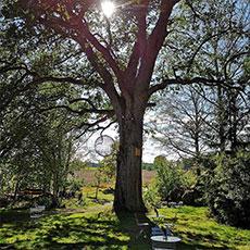 En stor ek med grönska runt omkring hos Under stora eken. Foto: Pressbild