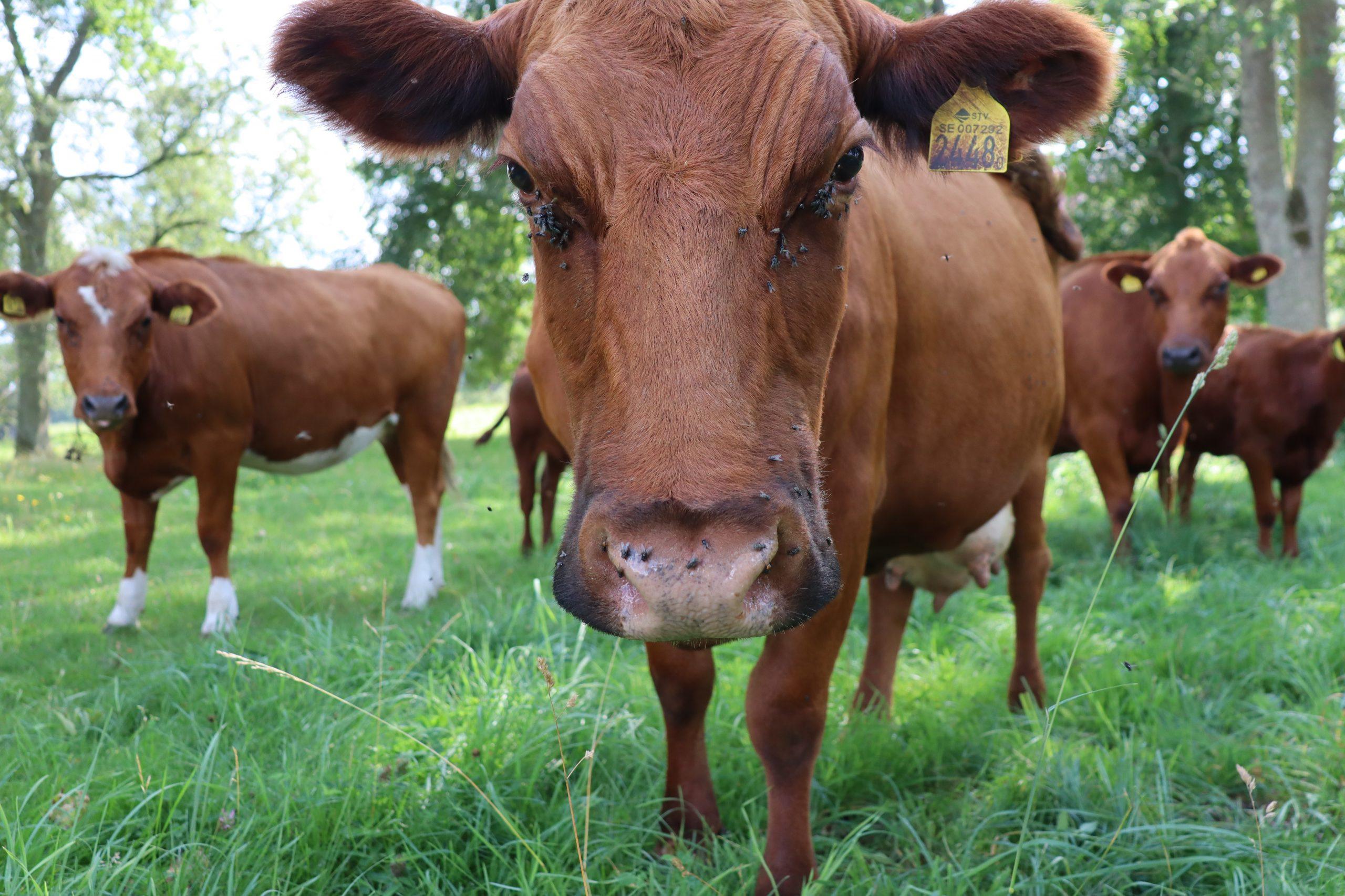 Närbild på en ko