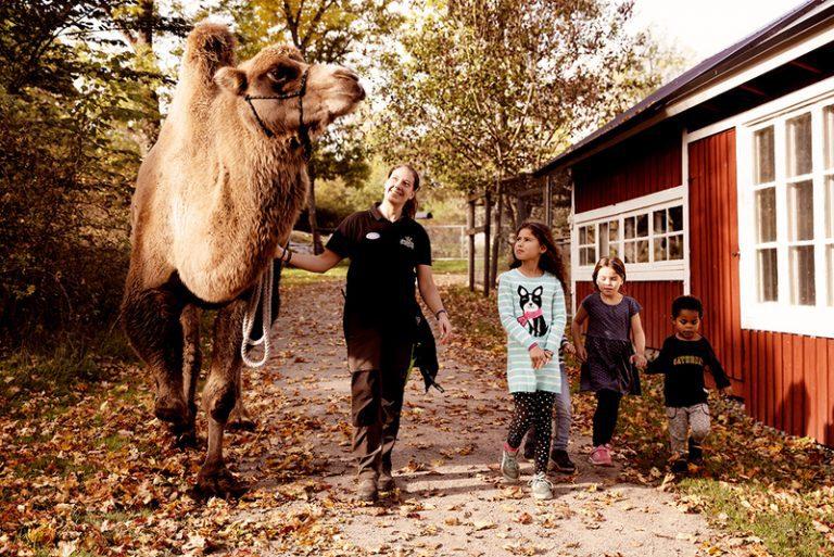 Djurskötare på pormenad med en kamel och några barn. Pressfoto.