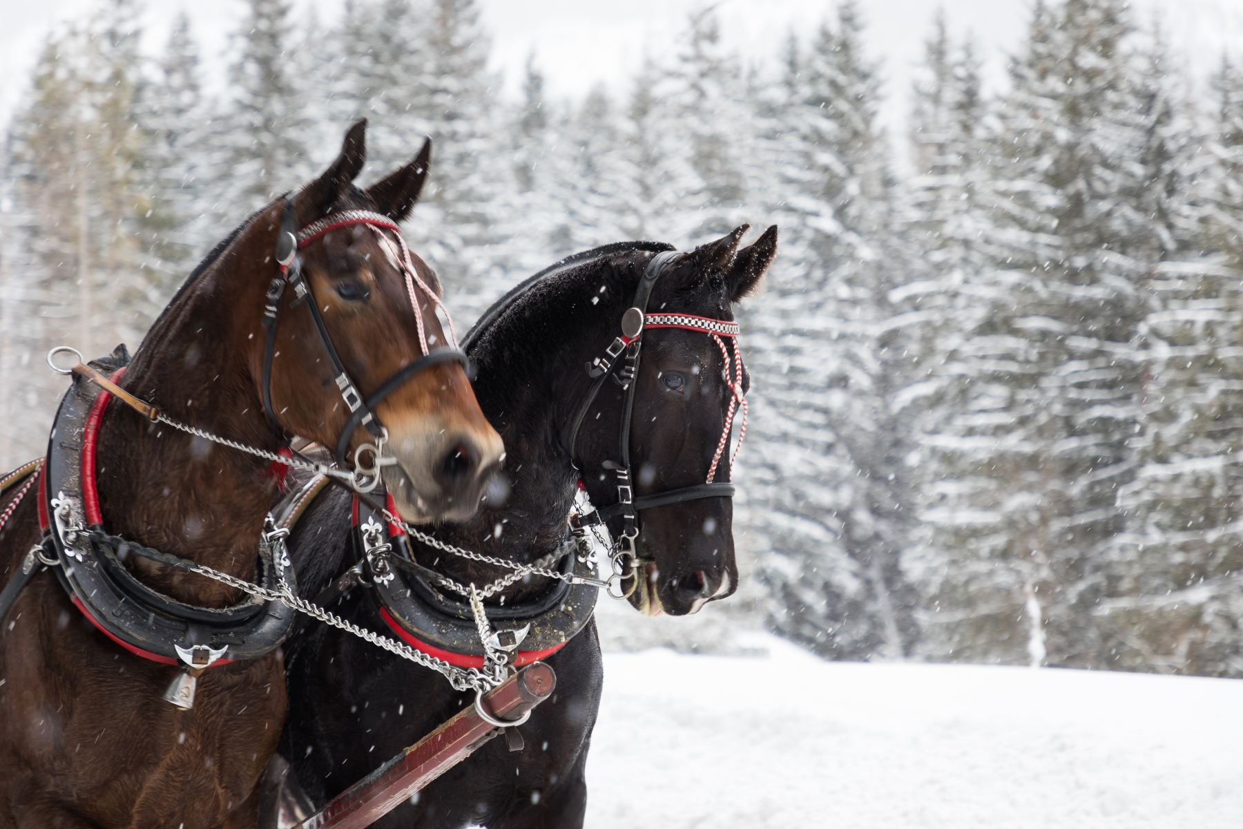 Två hästar ute med häst och vagn. Fotograf: Mostphotos