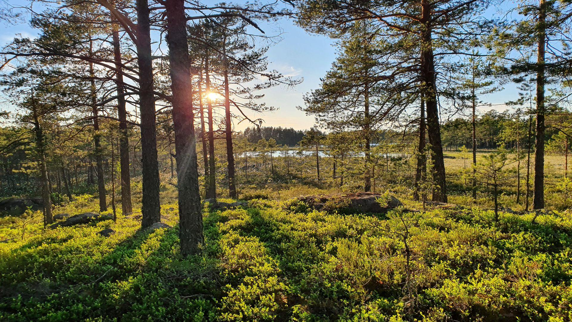 Vacker glänta i skogen. Fotograf: Jonas Landolsi pressbild