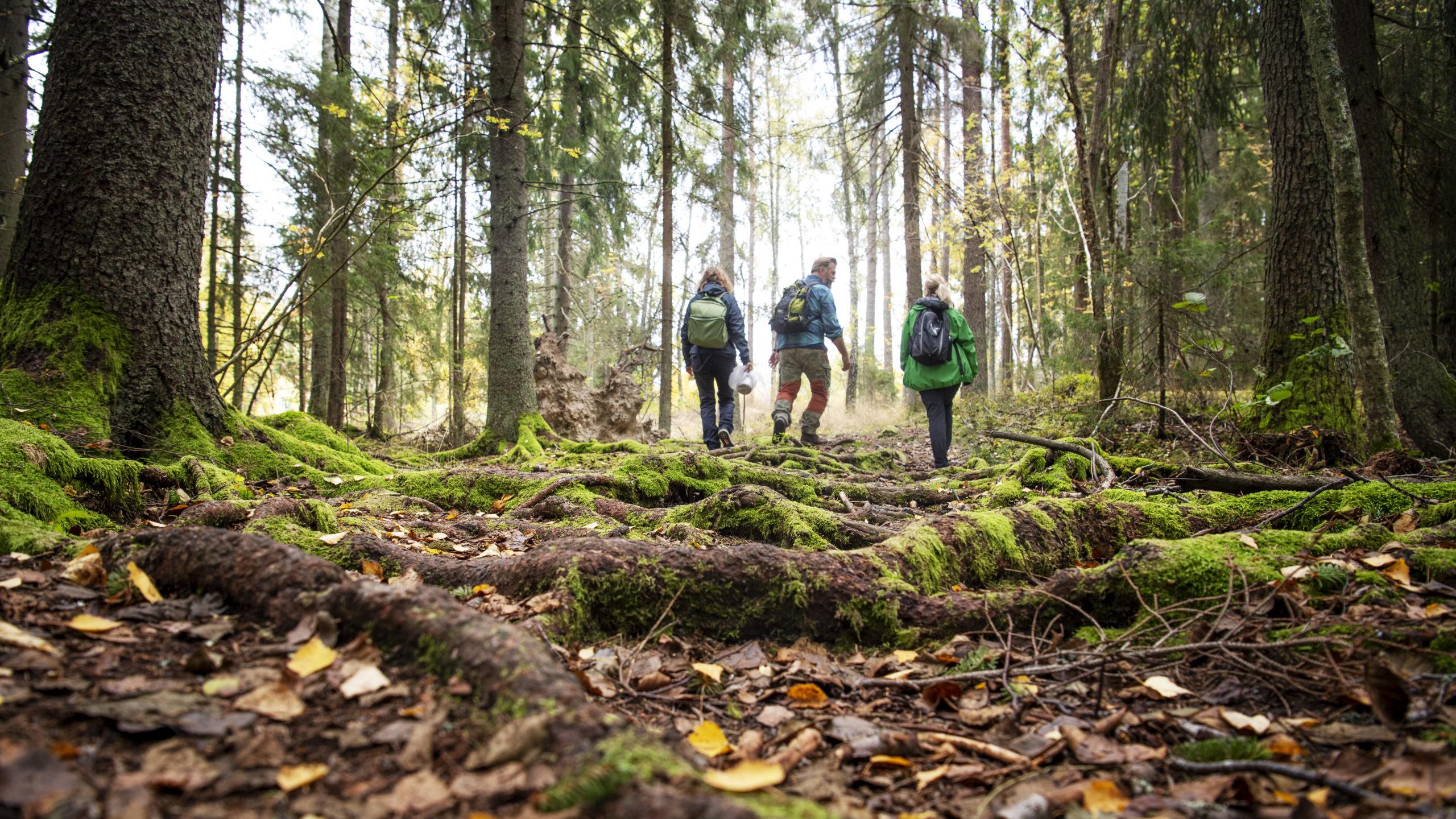 Tre personer vandrar inne i skogen. Fotograf: Jonas Bilberg