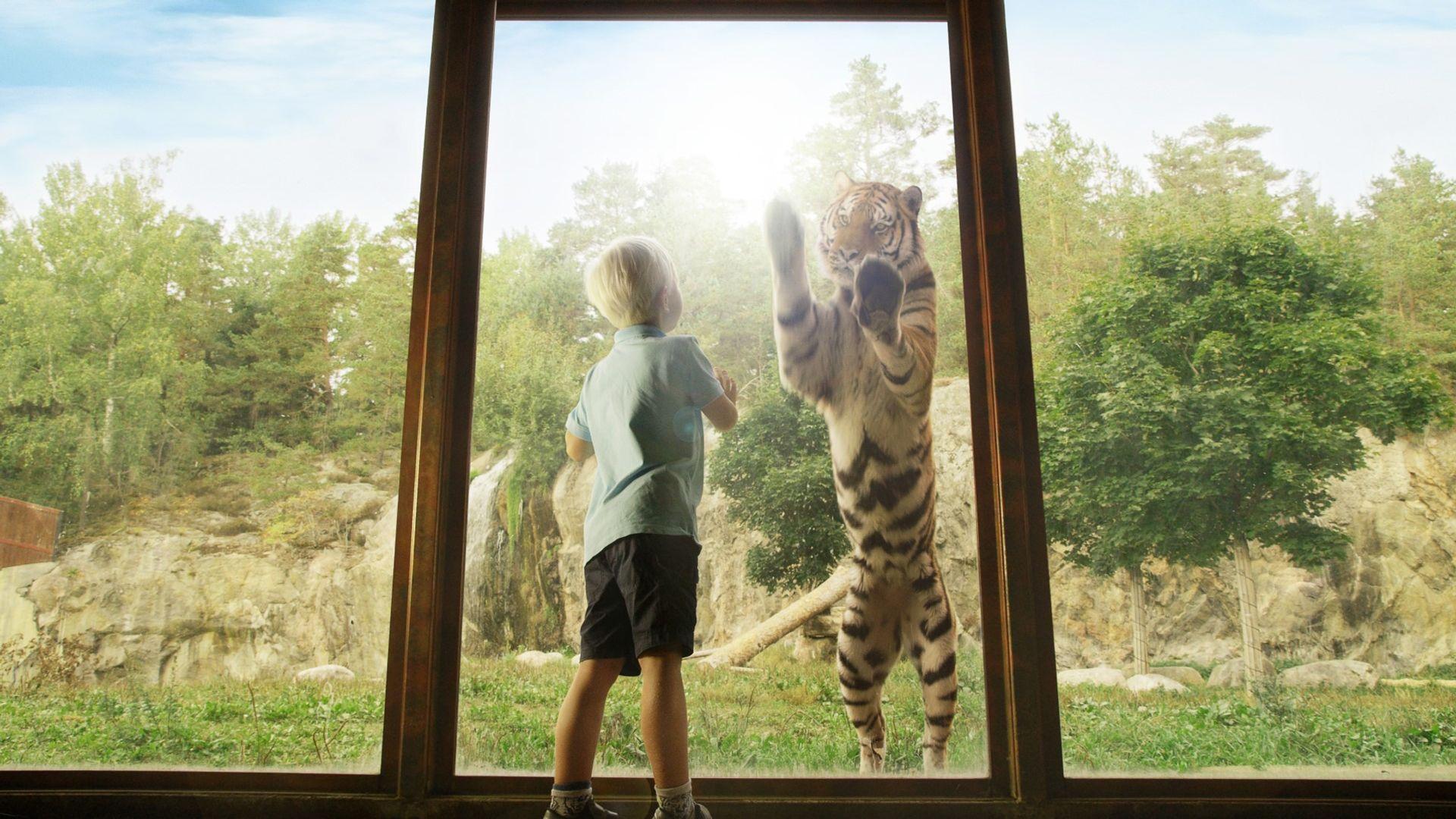 En pojke och en tiger står mot en glasruta på kolmården. Fotograf: Pressbild Norrköping